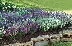 "Angelonia Serena Mix - this isn't in your landscape plan but Angelinia might be a good ""filler"" option for your patio beds while the other plants grow in. Or it could replace the lantana if you prefer."