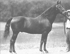 Bennington was active early in the 20th century, a pivotal time for the Morgan breed. With the advent of the automobile, demand for these economical, stylish horses waned and the breed nearly died out. Bennington helped transform the breed from a mode of transportation into the pleasure horse we have today.