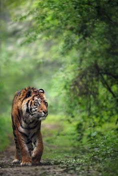 "Sumatra Tiger (If you love this beautiful photo, vote with a ""like"" at http://500px.com/photo/7455523 ) - #endangered #species"