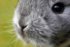 Chinchilla Bunny Closeup - February 16, 2011