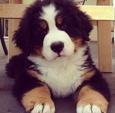 The Bernese-mountain dog is a large, heavy dog with a distinctive tri-colored coat, black with white chest and rust colored markings above eyes, sides of mouth, front of legs, and a small amount around the white chest.