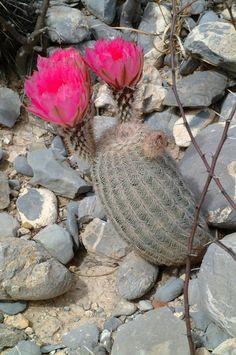 Echinocereus reichenbachii, Mexico, Coahuila General Cepeda  More Pictures at: http://www.echinocereus.de
