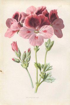 E. Hulme Familiar Garden Flower 1890 Pelargonium Flower //  Encontrado en etsy.com Antique Original Original Coloured Bookplate Color Book Plate Vintage Print E…