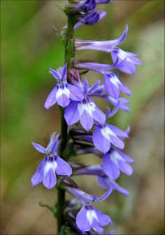 Indian tobacco - Lobelia inflata