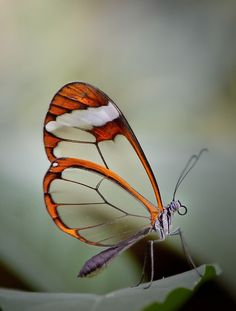 Glass wing Butterfly by gorka orexa