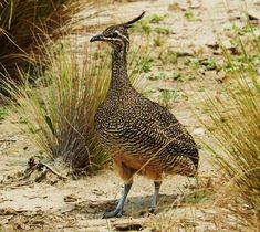 The Tinamou-looks somewhat quail or partridge like with an elegant shape, but more closely related to the ratites, though not in the same family.