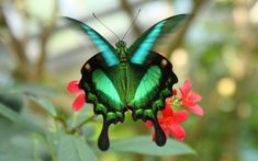 The endangered Emerald Swallowtail (Papilio palinurus), one of the few rare green butterflies, are mostly found in Southeast Asia including the Philippines, Indonesia, Borneo and Myanmar. These gentle green butterflies are also called Emerald Peacock or Green-banded Peacock Swallowtail.