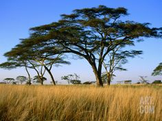 Acacia Trees on Serengeti Plains, Serengeti National Park, Tanzania Photographic Print by Dennis Johnson at Art.com