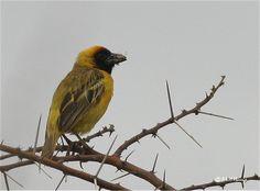 Northern Masked Weaver - Kenya