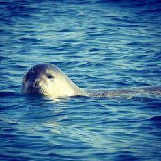 Si vous croisez un phoque moine de Méditerranée au large des îles grecques, vous aurez de la chanceAutrefois, ces mammifères marinsbarbotaient en grand nombre dans les eaux dela Méditerranée. Aujourd'hui, ils seraient moins de 500.