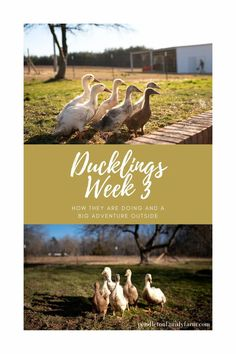 Ducklings Week 3. They are growing so fast. See their first outside bath, covered in mud, and how much joy they bring. #ducklings #pendletonfamilyfarm #livestock Backyard Ducks, Backyard Farming, Duckling Care, Raising Ducks, Homestead Farm, Duck House, Best Husband, Coops, Simple Living