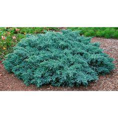Spring Hill Nurseries 2.50 Qt. Pot Blue Star Juniper Live Evergreen Plant Blue-Silver Needled Low Growing Evergreen Shrub