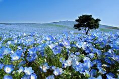 A Sea of Million Baby Blue Eye Flowers in Japan's Hitachi Seaside ParkHitachi Seaside Park is a sprawling 470 acre park located in Hitachinaka, Ibaraki, Japan, that features vast flower gardens. Love Flowers, Wild Flowers, Beautiful Flowers, Periwinkle Flowers, Meadow Flowers, Periwinkle Blue, Hitachi Seaside Park, Parc Floral, Lilies Of The Field