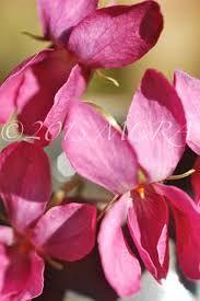 Slikovni rezultat za Viola odorata Rosea seeds