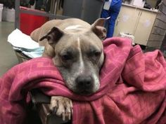 Gone but never forgotten PRINCESS – A0894717  ** NEEDS CRITICAL CARE **  SPAYED FEMALE, TAN / WHITE, PIT BULL MIX, 10 yrs STRAY – EVALUATE, NO HOLD Reason STRAY Intake condition EXAM REQ Intake Date 05/11/2017, From NY 10467, DueOut Date 05/11/2017
