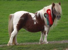 Halstock Lottie - Shetland Pony mare