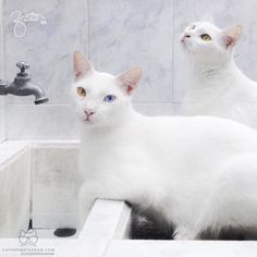 From @ZeniaMendivil: Its bath day and they know it! #catsofinstagram [source: http://ift.tt/1MYP1Ce ]