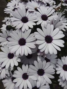 Summer flowers (Osteospermum)   asterales