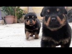 Rottweiler: Blacky's And Dessa's Babies - YouTube
