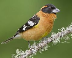 Black-headed grosbeak - you need to listen to his call!  He's kind of scruffy-looking, but he sings so prettily!