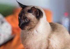 Lula Cat | Pawshake