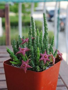 Stapelia scitula – Small Starfish Flower - See more at: http://worldofsucculents.com/stapelia-scitula-small-starfish-flower
