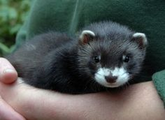 33 Best ferret images in 2018 | Ferret, Cute ferrets, Pet ferret