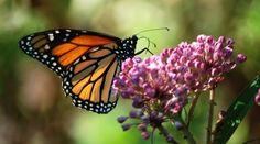 Millionen Monarchfalter fliegen jedes Jahr aus den USA zum Überwintern nach Mexiko. Nun ist das Naturschauspiel bedroht. Schuld ist der massive Anbau von Biosprit- und Futterpflanzen in den USA. Auf den Monokulturen mit Genmais und Gensoja können die Schmetterlinge nicht überleben. Bitte fordern Sie deren Schutz: https://www.regenwald.org/aktion/969/gift-fuer-millionen-schmetterlinge
