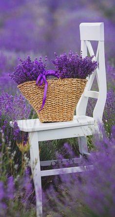 Lavender Cottage, Lavender Blue, Lavender Fields, Lavender Flowers, Purple Flowers, Beautiful Flowers, Flowers Garden, Hydrangea Garden, Lavender Ideas