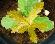 Faith, my white oak seedling, growing and growing.