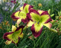 starburst mauve daylily - Google Search