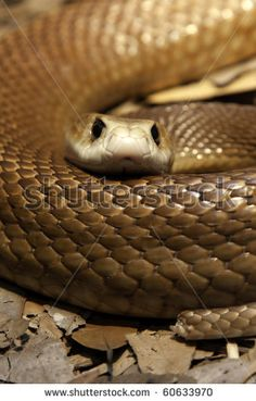 Close Up Of A Taipan'S Head And Body Looking Straight At The Camera - One Of The Most Poisonous Snakes In Australia. They Have A Short Temper And Will Defend Themselves With Lightening Fast Strikes Stock Photo 60633970 : Shutterstock