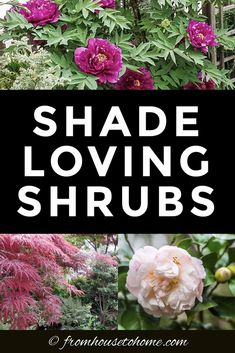 Shade Loving Shrubs: 11 Beautiful Bushes To Plant Under Trees - Gardening @ From House To Home - These shade bushes are perennial plants that will look beautiful in in backyards or front yards. Shade Loving Shrubs, Shade Shrubs, Shade Garden Plants, Garden Shrubs, Flowering Shrubs, Shade Trees, House Plants, Evergreens For Shade, Kalmia Latifolia