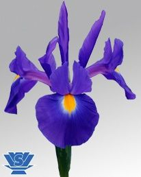 Pioneer ® (IRIS) Blue/Purple 80-90cm