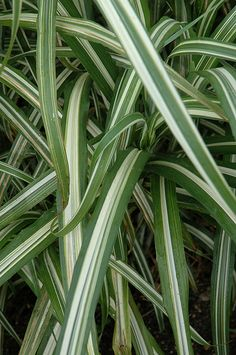 Click to view full-size photo of Cabaret Maiden Grass (Miscanthus sinensis 'Cabaret') at Flowerland