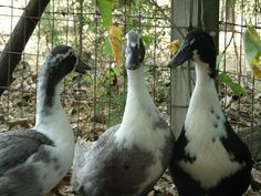 My Anconca/Blue Swedish ducks. Such sweeties!