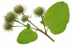 Natural Herbs For Quick Hair Growth burdock Herbs For Hair Growth, Quick Hair Growth, Hair Loss Cure, Lower Blood Pressure, Peeling, Quick Hairstyles, Natural Herbs, Natural Healing, Natural Hair