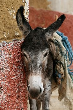 The 'Beast of Burden' somewhere in Moulay Idriss, Morocco ~ Photo by...i.zoom©