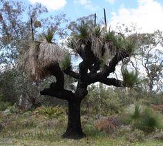Xanthorrhoea The Eighth Day, Botany, Australia, Plants, Plant, Planets