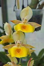 "Catasetum Susan Fuchs ""AMARELO"" Orquídea"