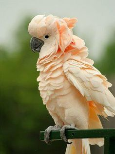 Salmon-crested Cockatoo (Cacatua moluccensis) also known as the Moluccan Cockatoo, is a cockatoo endemic to the south Moluccas in eastern Indonesia