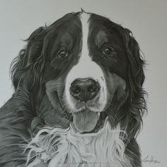 """This is Jess, a Bernese mountain dog drawn 12""""x12""""."""