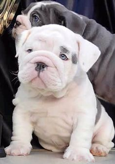 The major breeds of bulldogs are English bulldog, American bulldog, and French bulldog. The bulldog has a broad shoulder which matches with the head. Miniature English Bulldog, English Bulldog Puppies, Blue English Bulldogs, French Bulldogs, Mini Bulldog, Cute Puppies, Cute Dogs, Dogs And Puppies, Doggies