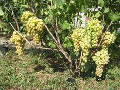 Восстановление кустов винограда с нуля