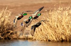 Mallards over water - golden #waterfowl #duck #hunting #1816 #remington