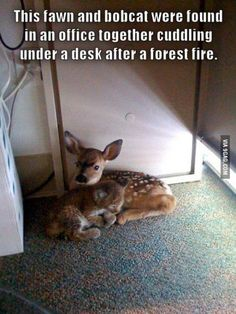 This fawn and bobcat were found in an office together cuddling under a desk after a forest fire.