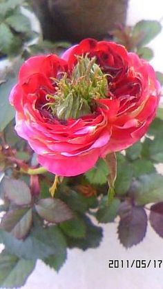 fruits and vegetables roses within fukushima exclusion zone residents of japan 30849