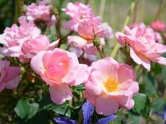 Shell-pink 'Peachy Keen' roses have yellow centers and eventually fade to pale pink. This landscape shrub has excellent disease resistance.