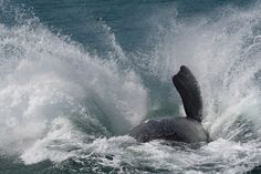 Hermanus Photo Gallery Holiday Resort, Whale Watching, South Africa, Photo Galleries, Southern, Stock Photos, Motion Graphics, Gallery, World