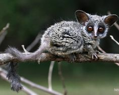 Lesser bushbabies, or lesser galagos, are strepsirrhine primates of the genus Galago. They are classified, along with the bushbabies and the rest of the galagos, in the family Galagidae. Wikipedia Scientific name: Galago Rank: Genus Lower classifications: Somali bushbaby, Zanzibar bushbaby, More